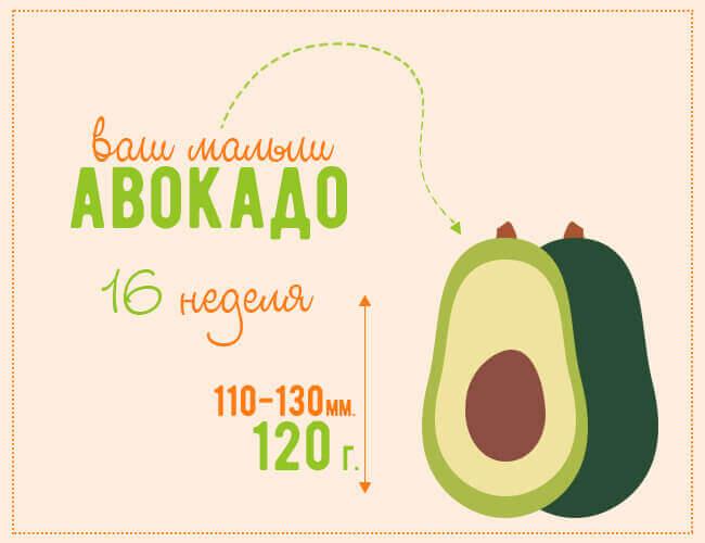 размер плода на 16 недели беременности