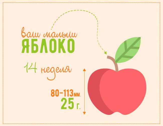 размер плода на 14 неделе