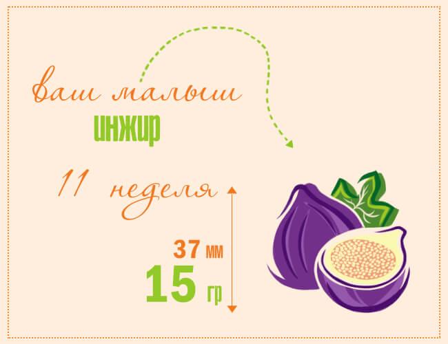 размер плода на 11 недели беременности